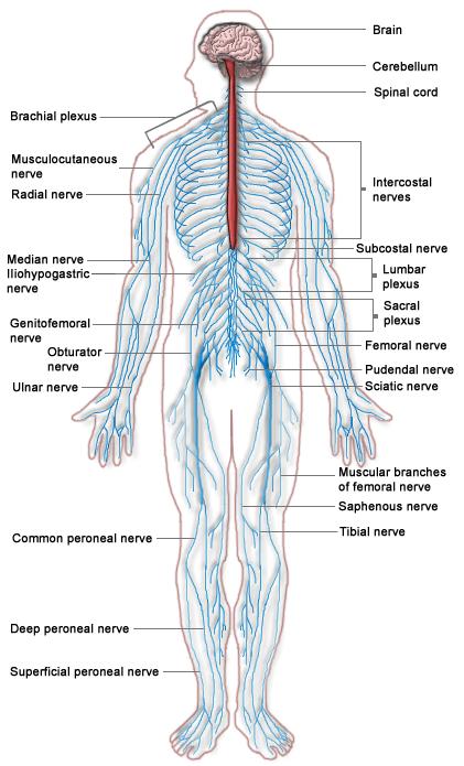 Nervous System - Medical Marijuana Research