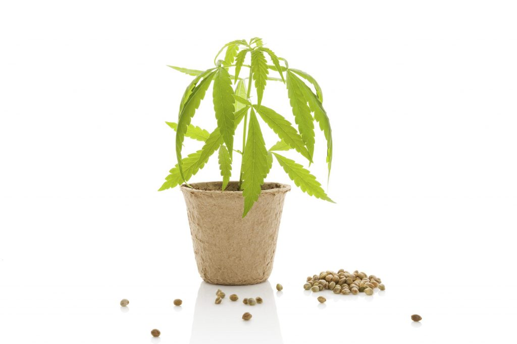 Cannabis plant and seeds isolated on white background.