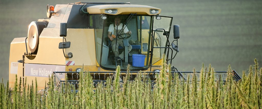cultivating hemp