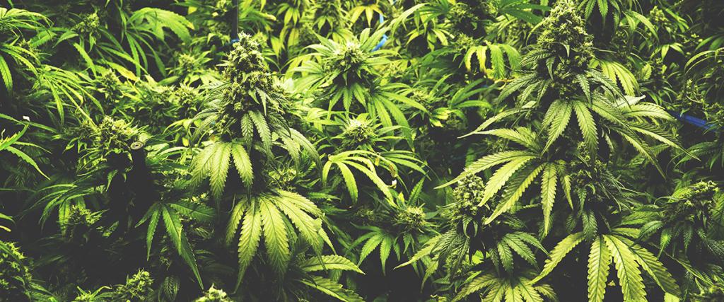 weed plant versus hemp plant