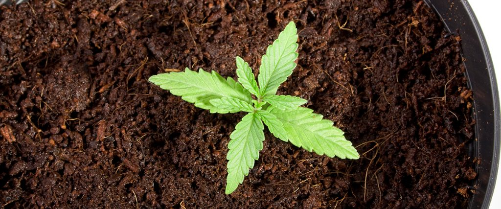 how do you grow weed