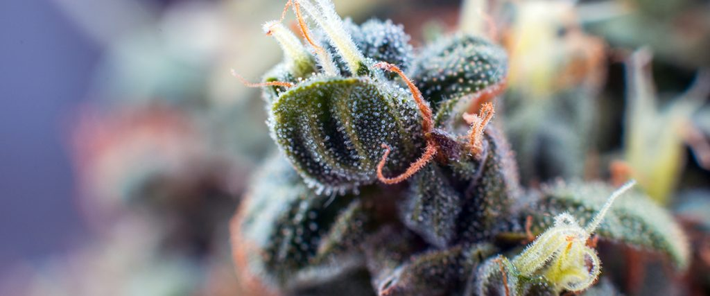most potent weed strain
