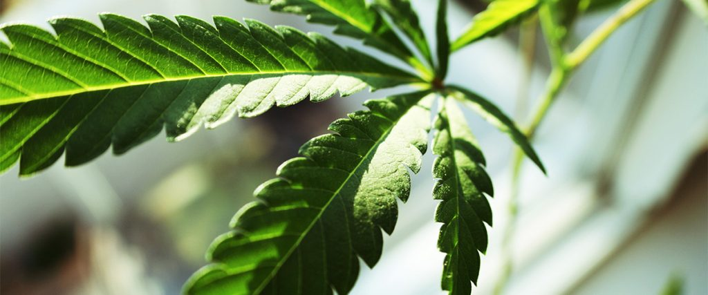 weed sativa