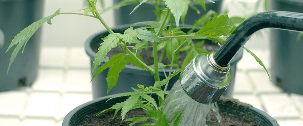 growing marijuana at home