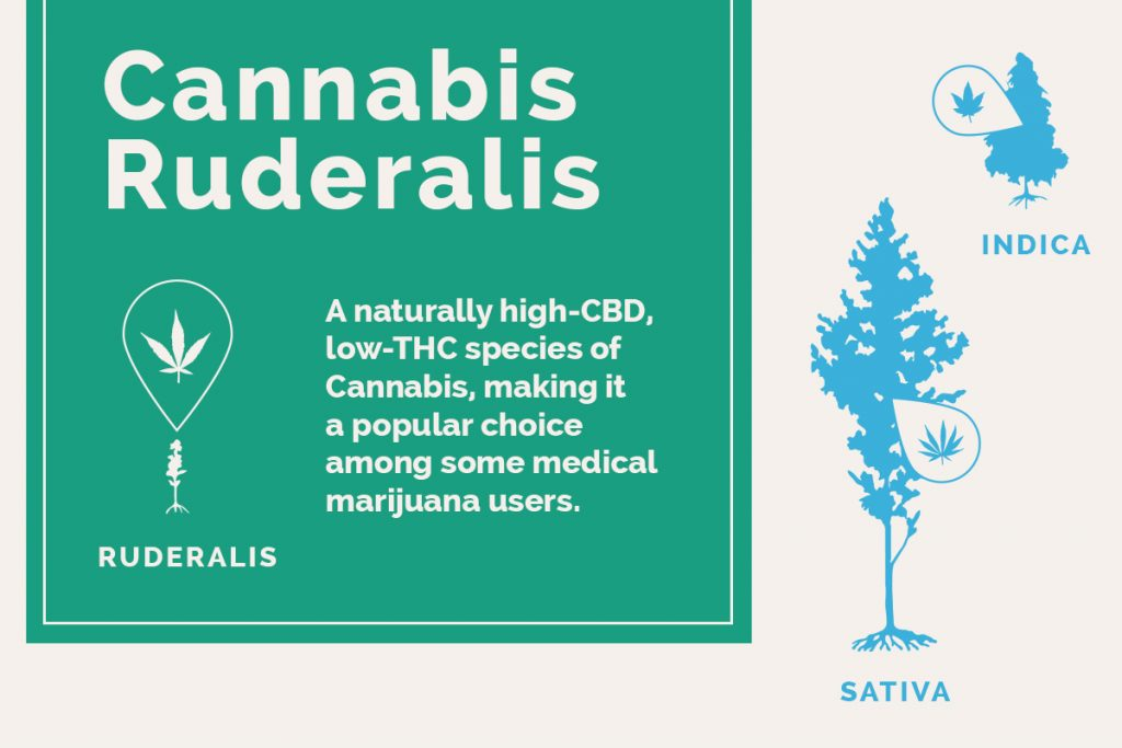 Cannabis Ruderalis: What Is It and How Is It Different from