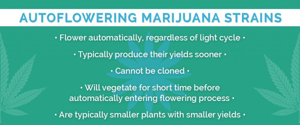 what does autoflowering seeds mean