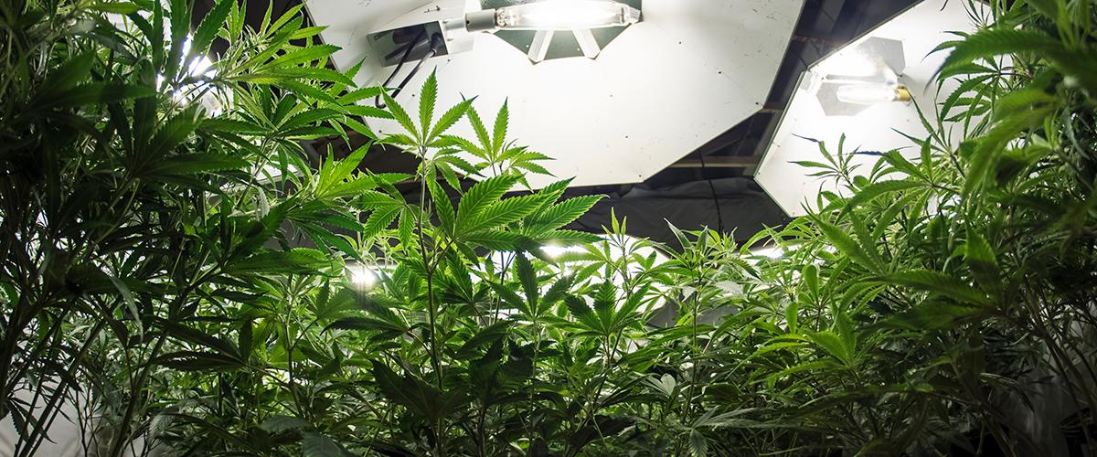 cannabis grow kit
