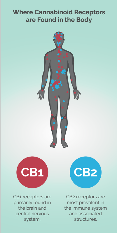 cannabinoid receptors in the body