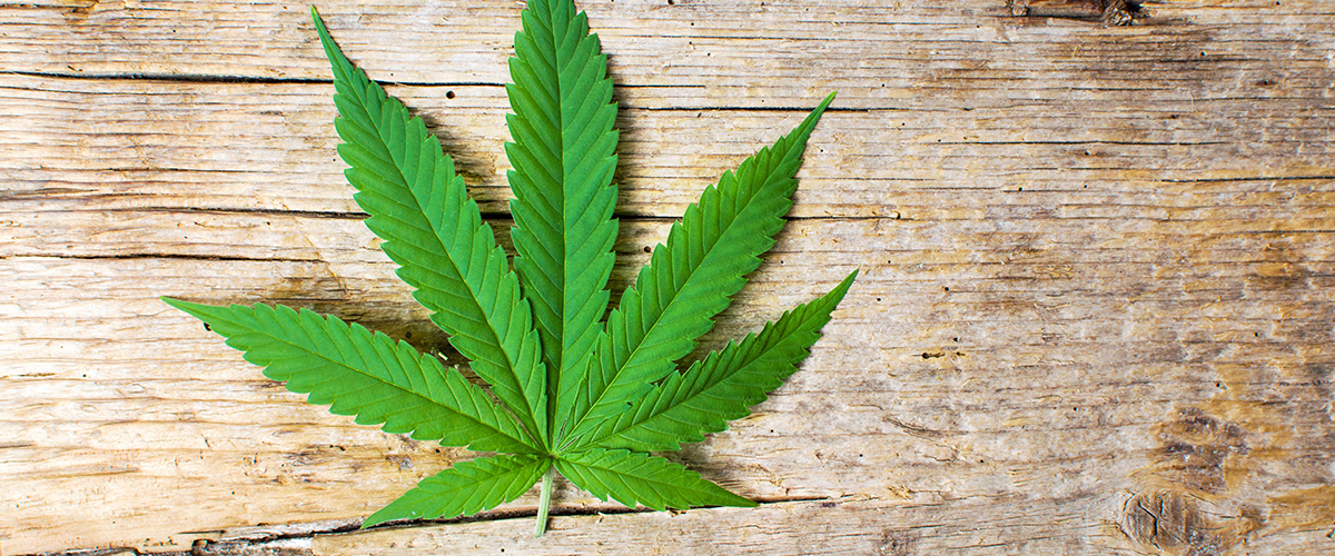 4 Healthy and Green Uses for Cannabis Leaves | Medical