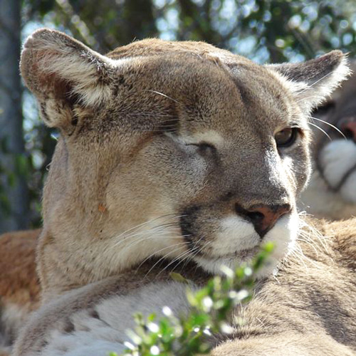 CBD mountain lion