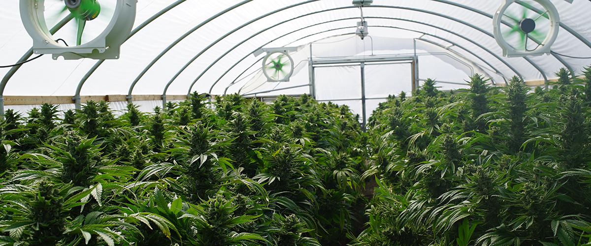 big marijuana