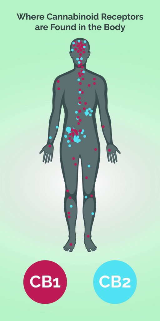 Endocannabinoid System: The Endocannabinoid System and CBD | Medical Marijuana, Inc.