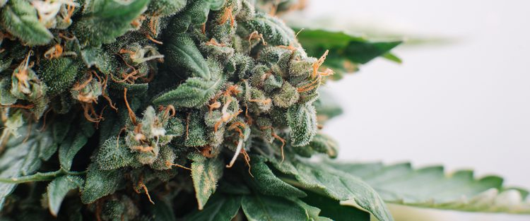 What are Trichomes and How Do They Affect Medical Marijuana