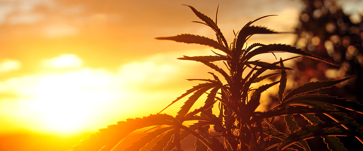 CBD from Marijuana vs CBD Oil from Hemp